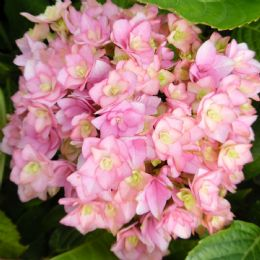 Hydrangea macrophylla Together (You & Me Series) Pink (H)